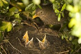 Bios_1065309John Cancalosi Titre - Merle noir femelle au nid avec sa couvée Royaume-Uni.jpg