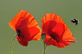 Bios_1768330Dominique Delfino Titre - Bourdon en vol et Coquelicot en fleurs au printemps France.jpg