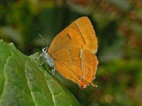 Lycaenidae_-_Thecla_betulae-wikicommons.jpeg