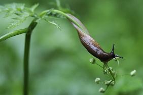 Bios_1116586-Fabrice Cahez-Limace sur une tige sous la pluie Vosges France .jpg