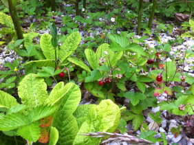 fraises des bois désherbage manuel.JPG