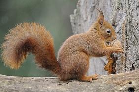 Bios_1419670Biosphoto : Fabrice Cahez Titre - Ecureuil roux mangeant une noix.jpg