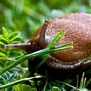 Biosphoto-A.Agelet-limace