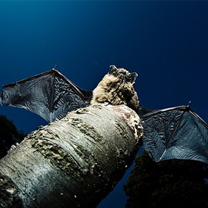 Biosphoto-M.Chesneau-chauve-souris