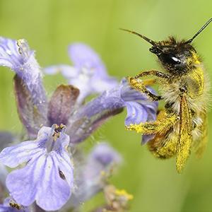 Biosphoto-M.Rauch-abeille