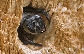 abeillecharpentiere2