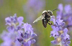 abeillecharpentiere3