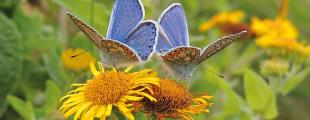papillonprincip